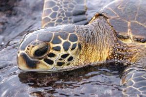 Turtle_CR_OCEANO MEERZEIT Reisen (9)