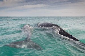 Gray whale San Ignacio Lagoon